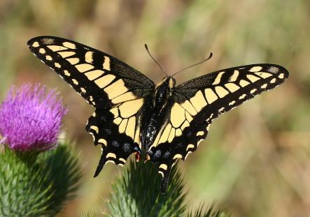 Anise_swallowtail