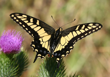Anise_swallowtail