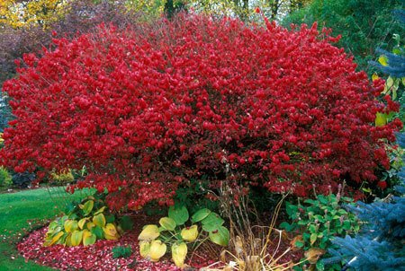 Burning_Bush_450_1