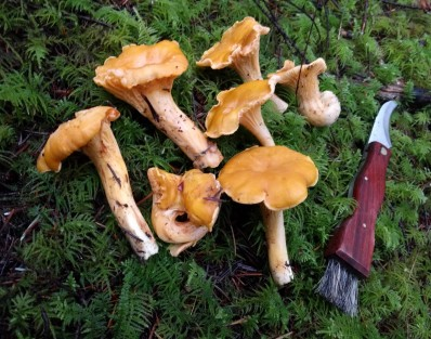 chanterelles-on-moss-with-knife