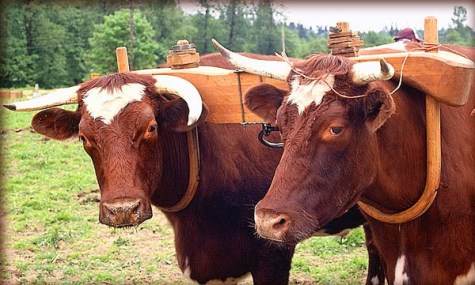 yoke-on-two-oxen